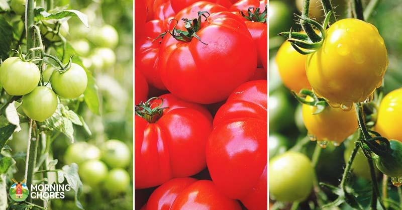 15 des meilleures variétés de tomates absolues que vous ...